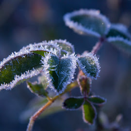 Frost on My Back by Pamela Vest - Nature Up Close Leaves & Grasses ( cool, ice, frost, rose bush, leaves,  )