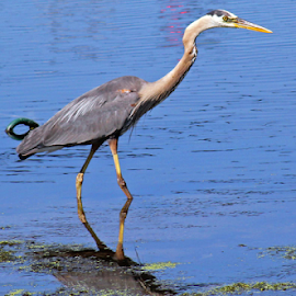 Heron by Judy Smithcronk - Novices Only Wildlife ( water, reflection, crane, heron, water bird )