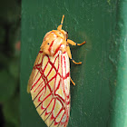 Polilla tigre, Tiger moth