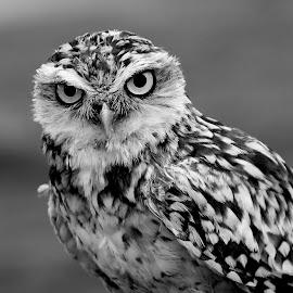 Burrowing Owl by Ralph Harvey - Black & White Animals ( bird, owl, wildlife, ralph harvey, feather )