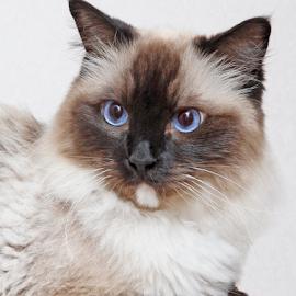 Miss Missi by Mia Ikonen - Animals - Cats Portraits ( ragdoll, alert, focused, finland, statuesque )