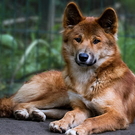 Dingo by Renos Hadjikyriacou - Animals - Dogs Portraits ( animals, dingo,  )