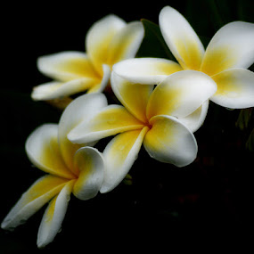 Plumeria rubra Frangipani by Zeljko Kustec - Flowers Flower Gardens ( topics: frangipani | southern trees fact sheets | apocynaceae (taxonomic family)   share on facebookshare on googleshare on twittershare on emailmore sharing services0 plumeria rubra: frangipani )