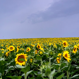 Sunflower field by Stratos Lales - Novices Only Flowers & Plants ( field, sky, greece, sunflower, drama, , Hope )