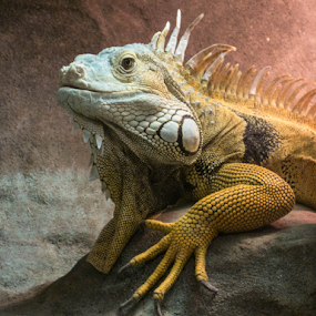 Iguana by Bevlea Ross - Animals Reptiles