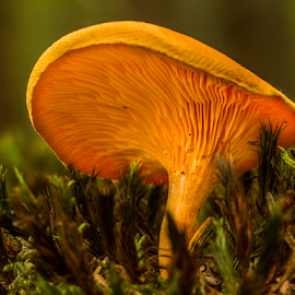 Yellow fungi in the moss by Peter Samuelsson - Nature Up Close Mushrooms & Fungi