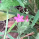 Stork's Bill, Alfileria