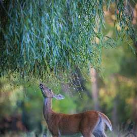 Deer eating Willow Tree by Chris Hurst - Animals Other Mammals ( whitetail deer, whitetail, white tail deer, doe. whitetail doe, deer )