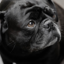 Charley by Peder Magerøy - Animals - Dogs Portraits ( hound, puppy, cute, dog, black, pug )