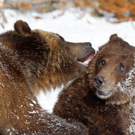 Oh no!!!!!! by Lloyd Alexander - Animals Other Mammals ( grizzly, bear, yellowstone, lloyd alexander, winter, nature, grizzlies, wildlife, mammal )
