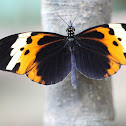 Numata Longwing