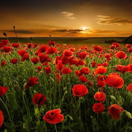 Poppy field by Evgeni Ivanov - Landscapes Prairies, Meadows & Fields ( land, cloudscape, poppy, beauty, landscape, sunlight, spring, field, sky, nature, wildflower, summer, cloud, light, flower )