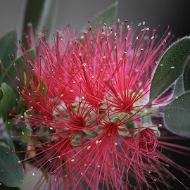 Bottlebrush bush by Dave . - Nature Up Close Trees & Bushes ( plant, bottlebrush, bush )