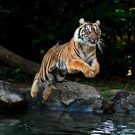 JUMP AND FLY by Idda Purwaningtiyas - Animals Lions, Tigers & Big Cats