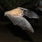 Little Yellow-Shouldered Bat