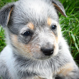 Clover by Cynthia Potter Nichols - Animals - Dogs Puppies ( blue heeler puppy, puppies, pet photography, dogs, pet portraits, blue heeler, acd,  )
