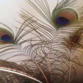 Peacock feathers by Terry Linton - Novices Only Wildlife
