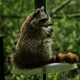 Guess Who's Coming To Dinner by Stan Lupo - Animals Other Mammals ( racoon, wildlife photography, nature center, outdoors, bird feeder, wildlife, nature photography,  )