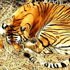 Sleeping Beauty by Saptarsi Roy - Animals Lions, Tigers & Big Cats