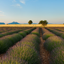Morning on lavender field by Ziga Camernik - Landscapes Prairies, Meadows & Fields ( provence, field, summer, france, sunrise, morning, lavender )