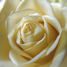 Rose by Di Mc - Novices Only Flowers & Plants ( rose, nature, white, flower, lemon,  )