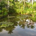Lirio acuático, Water lily
