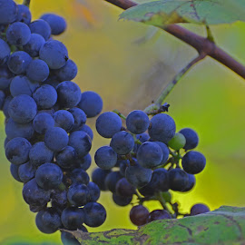 by Lyle Gallup - Food & Drink Fruits & Vegetables ( wild, fruit, grapes, delicious )