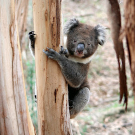 Little Koala by Zdenka Rosecka - Animals Other Mammals