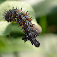 Caterpillars and larvae of the World
