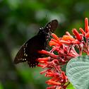 Victorine swallowtail