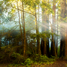sun streaming through forest trees by Kathy Dee - Nature Up Close Trees & Bushes ( streaming, redwoods, fog, california, ft. bragg, forest, sun, coast, mist,  )