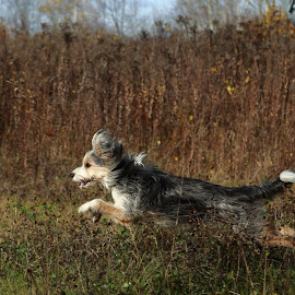 I Believe I can Fly by Jacqui Sjonger - Animals - Dogs Running ( dog running, pet photography, dogs, outdoor photography, dog portrait, dog playing, dog,  )