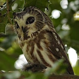 Northern saw-whet owl by Sheldon Bilsker - Animals Birds ( bird, nature, northern saw-whet owl, sanctuary, owl )