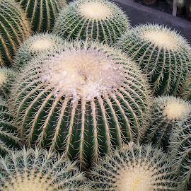 belleza de cactus by Shamik Bhattacharya - Nature Up Close Gardens & Produce ( cactus )