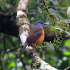 Amber Mountain Rock Thrush
