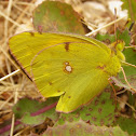 Common Clouded Yellow