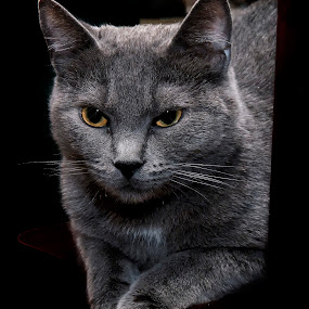 Russian Blue by Kelvin Watkins - Animals - Cats Portraits ( russian blue, cat, grey, posed )