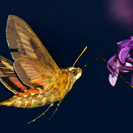 Just an Evening Sip by Tara Wagner - Novices Only Wildlife ( flash, lilac, sipping nectar, moth, evening )