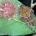 Orb weaver spider with egg sack