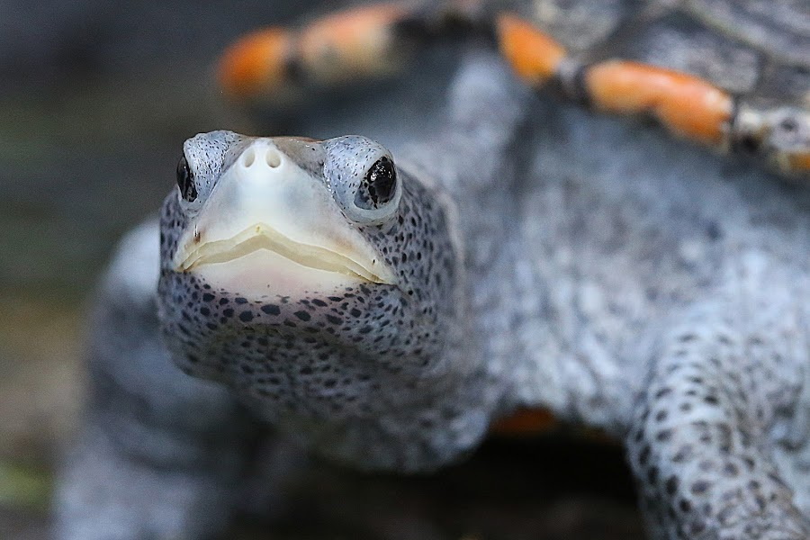 Spotted by Jared Lantzman - Animals Reptiles ( looking, shell, orange, spotted, cold, blue, white, beak, wet, yellow, reptile, turtle,  )