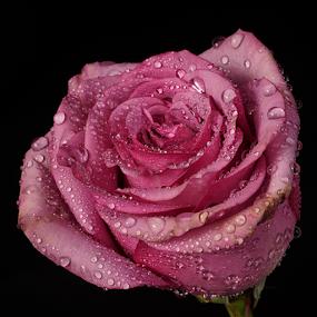 Rose in lilac tone by Cristobal Garciaferro Rubio - Flowers Single Flower