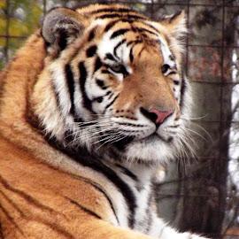 by László Nagy - Animals Lions, Tigers & Big Cats