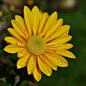 Suze nebeske by Jelena Puškarić - Flowers Single Flower ( flover,  )