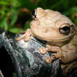 Cuban Tree Frog by Marie Terry - Animals Amphibians ( content, cuban tree frog, frog, tree frog, smiling,  )