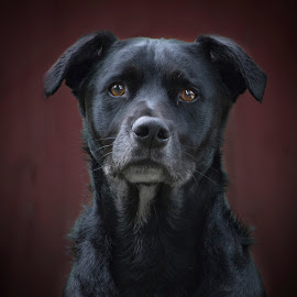 Justice by Amy Fitzpatrick - Animals - Dogs Portraits ( portland, square, labrador, mutt, black, portrait,  )