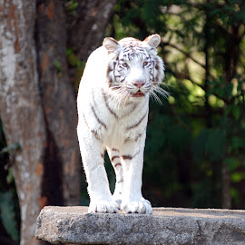 WHITE TIGER by Dhonz Rama - Animals Lions, Tigers & Big Cats