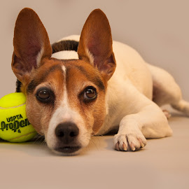 Tennis Time by David Freese - Animals - Dogs Portraits ( ball, tennis, dog, animal, rat terrier )