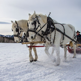 White Christmas by Mike O'Connor - Animals Horses ( horses, snow, sleigh, harness, team, heavy )