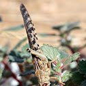 Egyptian Grasshopper