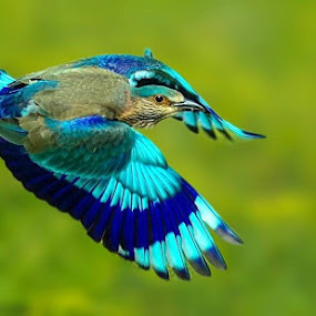 Indian Roller in Flight by Prasanna Bhat - Animals Birds ( wild birds,  )